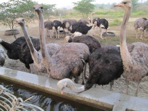 Photo: Ostrich farming in Rupendehi district of Nepal. Photo by Blogger.